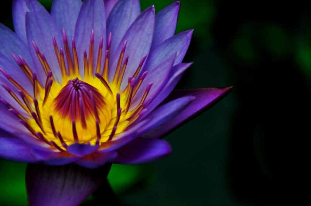 Lotus Flower – Symbol of Purity and Great Beauty